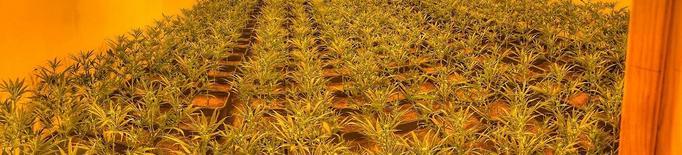 Detingut per cultivar més de 1.000 plantes de marihuana a casa