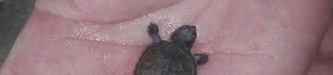 La segona cria de tortuga a l'Estany constata la reproducció de l'espècie en alt risc d'extinció