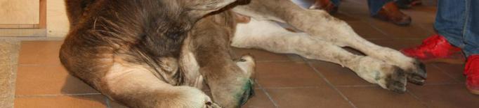 Denuncien la protesta ramadera de Llavorsí per mal tracte animal
