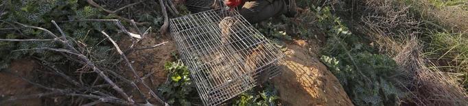 Agricultura autoritza caçar conills en 59 vedats de sis comarques per reduir danys al camp