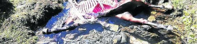 Tercer atac de l'ós Cachou a una euga a Aran en només sis dies