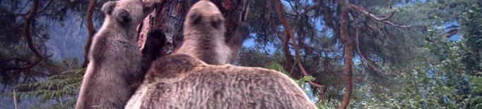 La població d'óssos guanya terreny i el cens supera per primera vegada el mig centenar