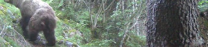 Set cries d'ós augmenten la població del Pirineu malgrat la mort de dos exemplars