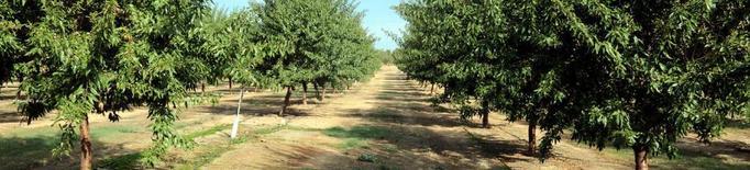 Lleida produirà enguany un 5,7 per cent més d'ametlla