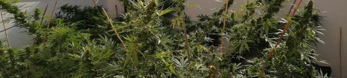 Troben marihuana en dos cases de Golmés