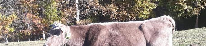 Vaques amb GPS per detectar atacs d'óssos al Pallars Sobirà