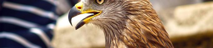 La Fundació Endesa impulsa un projecte de conservació i protecció d'àguiles cuabarrades, en perill crític a Catalunya