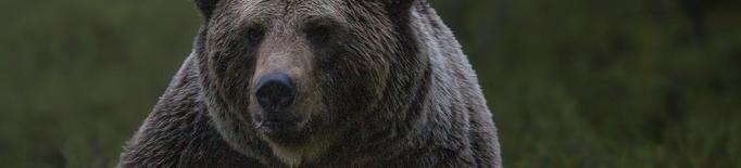Denuncien 23 atacs d'ós aquest any i menys de la meitat han estat a bestiar