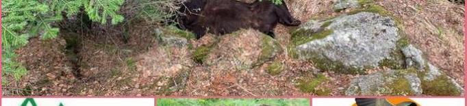 Les associacions s'uneixen per a defensar a l'ós