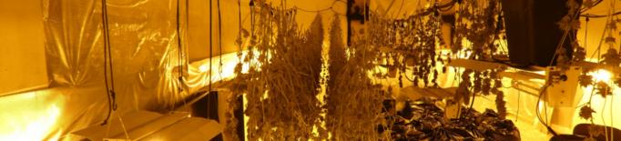 Els Mossos d'Esquadra detenen un home a Térmens per cultivar 300 plantes de marihuana
