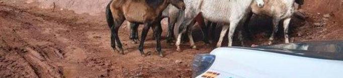 Denunciat per tenir vuit cavalls desnodrits a Soriguera