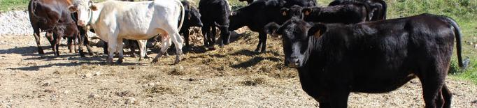 Unió de Pagesos demana a Agricultura mesures per reduir l'impacte de la crisi de la covid-19 al sector boví