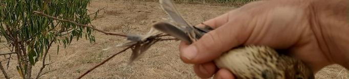 Els Agents Rurals sorprenen dues persones caçant ocells fringíl·lids amb vesc a Menàrguens