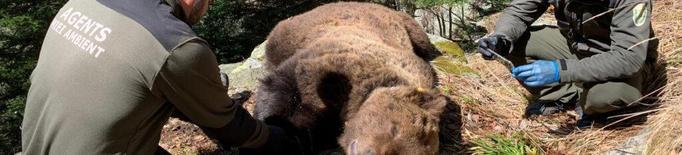 La jutge de Vielha decreta el secret de sumari en el cas de l'ós Cachou
