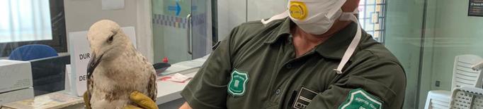 La policia de Mollerussa lliura un gavià argentat trobat ferit perquè es recuperi a Vallcalent