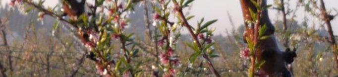 La gelada de la darrera nit alerta els productors de fruita dolça a Lleida
