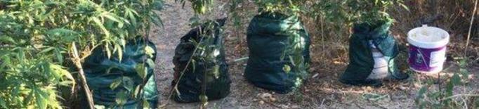 Dos detinguts a Aitona per cultivar 144 plantes de marihuana