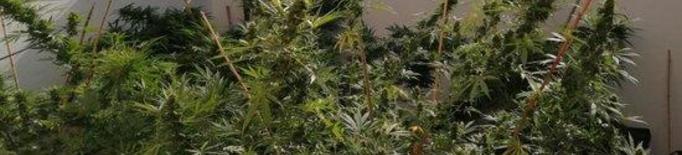 Pla de detall de la marihuana comissada en dos domicilis de Golmés. Imatge dels Mossos d'Esquadra