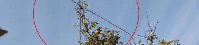 Pla obert on es poden veure les canyes de vímet col·locades en un arbre a Corbins per caçar ocells de manera il·legal