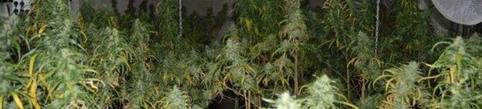 Detinguts per cultivar marihuana a l'interior d'un magatzem de Lleida
