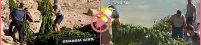 ⏯️ Cinc detinguts pel cultiu de més de 3.000 plantes de marihuana a Camarasa