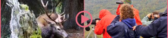 ⏯️ Comença la temporada de la brama del cérvol al Pallars