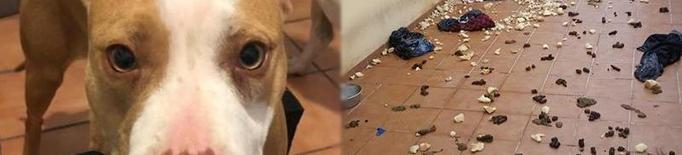 """Intervinguts dos gossos de raça que vivien en condicions higièniques i sanitàries """"lamentables"""""""