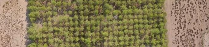 El canvi climàtic pot alentir fins un 75% el creixement dels boscos mediterranis de pi blanc