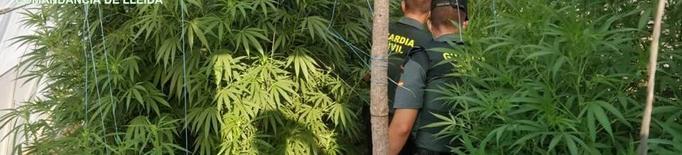 La Guàrdia Civil de Lleida localitza 12 plantes de marihuana de gran grandària
