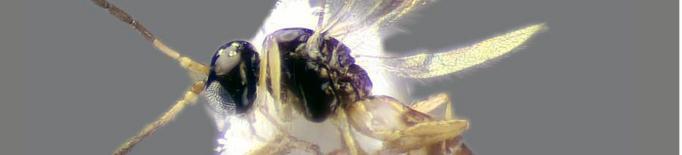 Identifiquen per primer cop a Europa un parasitoide del pugó del bambú