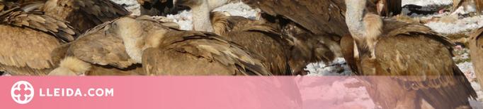 Les aus carronyaires generen un impacte econòmic de 4,2 milions d'euros anuals al Pirineu