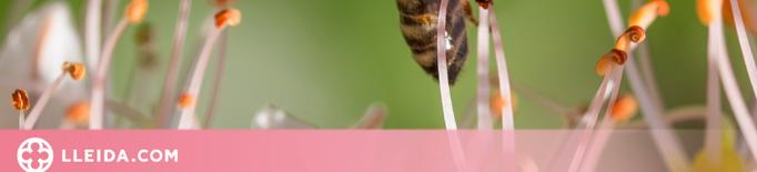 Les abelles amb cervells més grans tenen més capacitat d'aprenentatge i adaptació