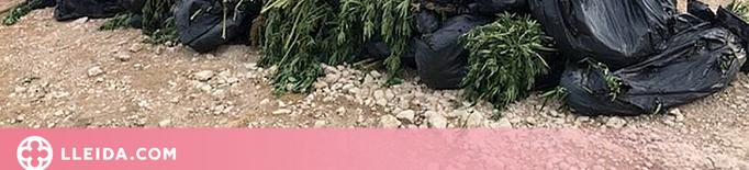 ⏯️ Localitzen 1.500 plantes de marihuana a la Noguera