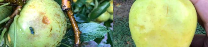 La pedregada de dissabte a Ponent va afectar més de 1.000 hectàrees de cultius