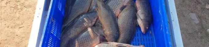Pesca furtiva de carpes