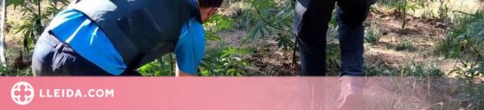 La Guàrdia Civil confisca 2.000 plantes de marihuana a la Noguera