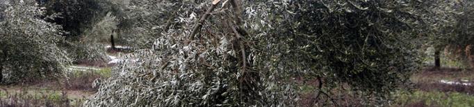 Exigeixen elaborar ja un pla de recuperació de les oliveres