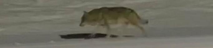Unió de Pagesos rebutja catalogar el llop com a espècie protegida a tot l'Estat
