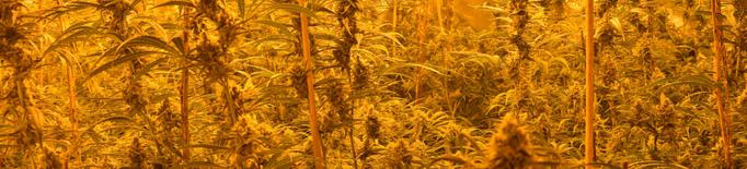 Els Mossos de Lleida detenen 10 persones per cultiu i tràfic de marihuana internacional