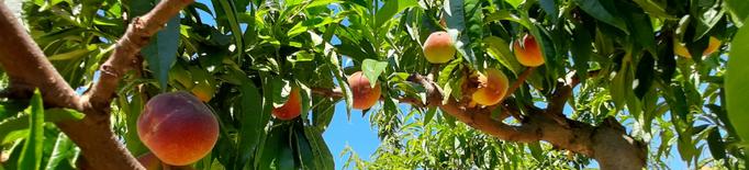 Catalunya preveu menys producció de préssec i nectarina per les gelades
