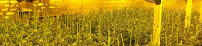 Desmantellen dues plantacions de marihuana a Camarasa i Juncosa