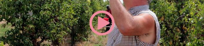 ⏯️ Pagesos lleidatans concentren la feina al matí al camp per evitar les hores fortes de calor