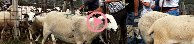 ⏯️ La tardor i les nevades porten els pastors a baixar ramats de les muntanyes