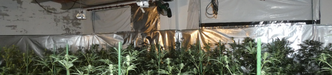 Detinguda a la Segarra per cultivar marihuana a casa i tenir la llum punxada