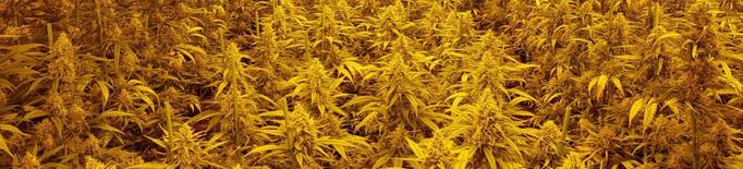 Detinguts per cultivar més de 1.500 plantes de marihuana a la Segarra