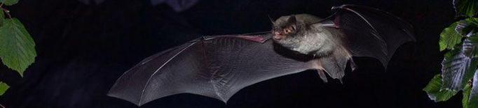 Descobreixen a Seròs una nova colònia de ratpenats en perill d'extinció