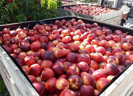Arranca la recollida de la nectarina de gran producció
