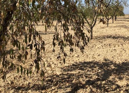 Lleida perd 10,7 milions en ajuts per a la fruita seca