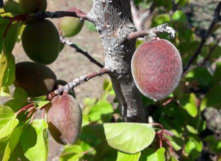 La pedra i el fred s'acarnissen amb ametllers i fruiters
