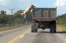 Un porc que salta d'un camió, estrella a la xarxa